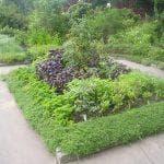 выращивание корневого сельдерея из семян