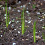 выращивание лука порей карантанский