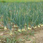 выращивание лука порея в сибири