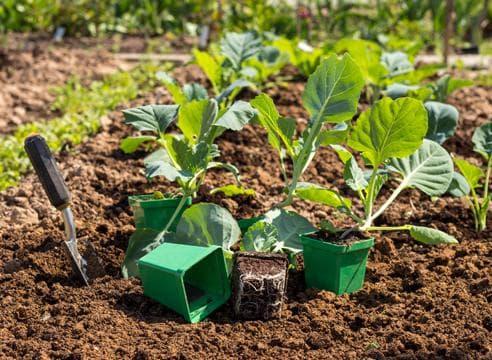 Когда и как сажать капусту брокколи на рассаду посадка в домашних условиях