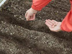 как сажать укроп в открытый грунт семенами