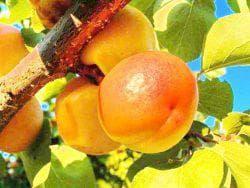 абрикосы в Крыму