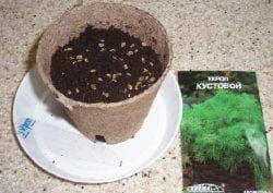 посев укропа в открытый грунт семенами