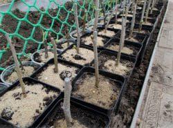 как посадить шелковицу