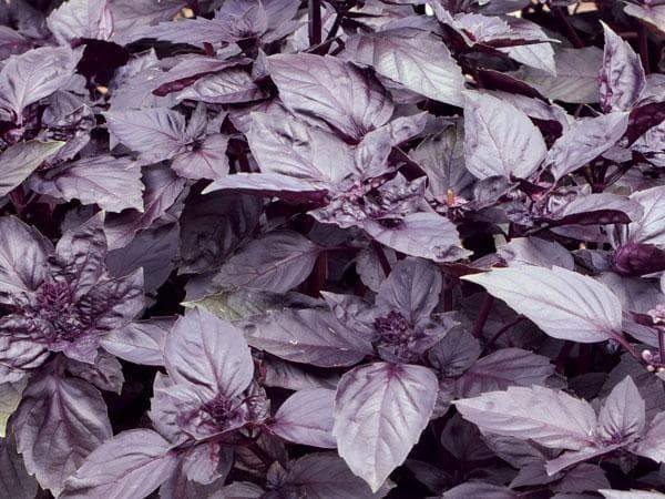 фиолетовый базилик Пурпурный