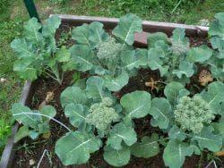 как высадить брокколи