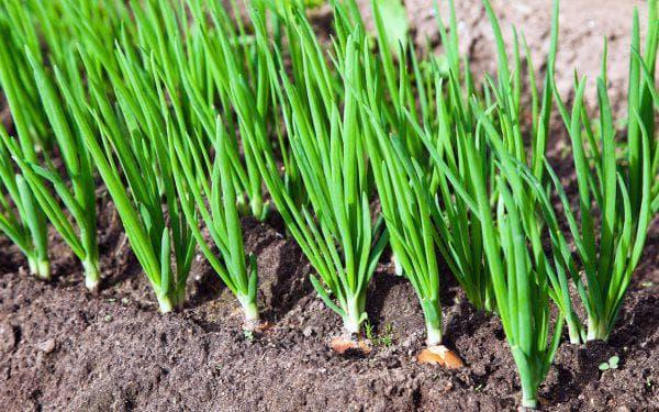лук и чеснок в огороде