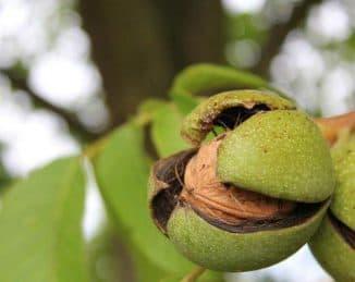 посадка грецкого ореха семенами