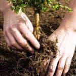 как правильно посадить саженец яблони весной