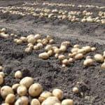 можно ли сажать лук после картошки