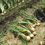 выращивание лука на зелень на подоконнике