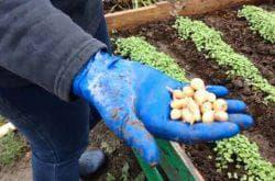 сортировка чеснока для посадки весной