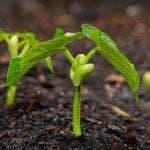 выращивание ревеня из семян рассадой