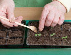 выращивание рассады базилика из семян