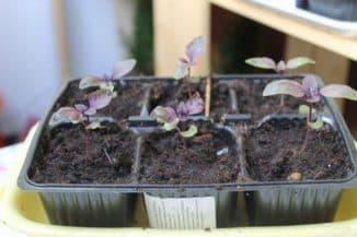 базилик овощной фиолетовый выращивание из семян