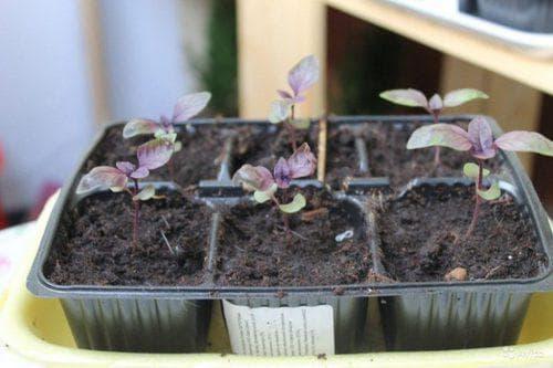 Почему базилик фиолетовый