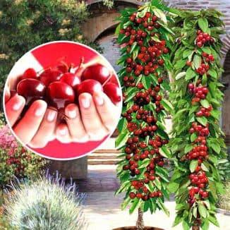 колоновидная черешня в огороде