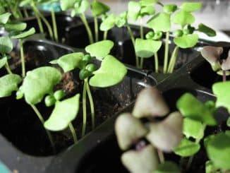 посадка семян базилика на рассаду