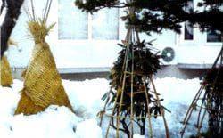 зимовка колоновидной груши