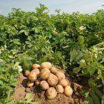 гербицид лазурит на картофеле