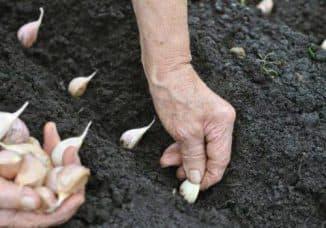 можно ли сажать лук и чеснок вместе
