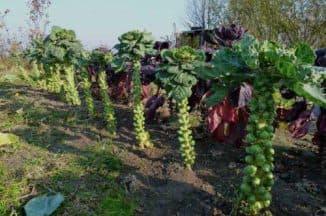 как сажать брюссельскую капусту в открытый грунт