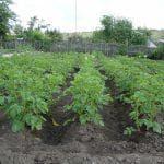 посев сельдерея черешкового