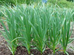 выращивание чеснока в средней полосе