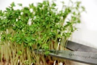 горчица выращивание из семян на подоконнике