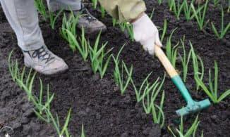 чеснок и овощи в огороде