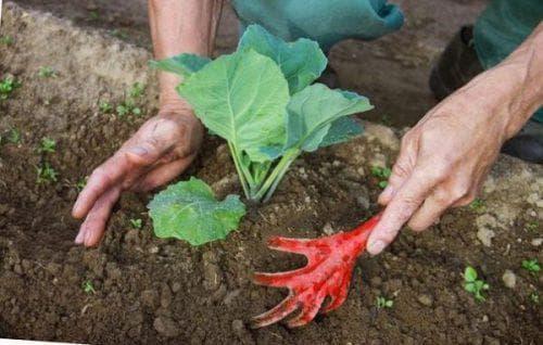 Когда сажать цветную капусту на рассаду: сроки, температура. Как вырастить здоровую рассаду цветной капусты:когда её сеять в теплице - Автор Екатерина Данилова