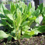 как садить укроп семенами в открытый грунт