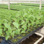 как вырастить капусту брокколи из семян