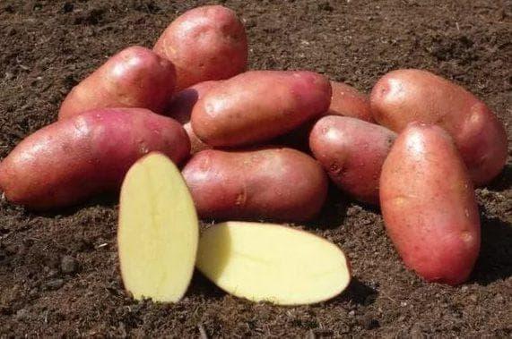 картофель Ред Скарлетт