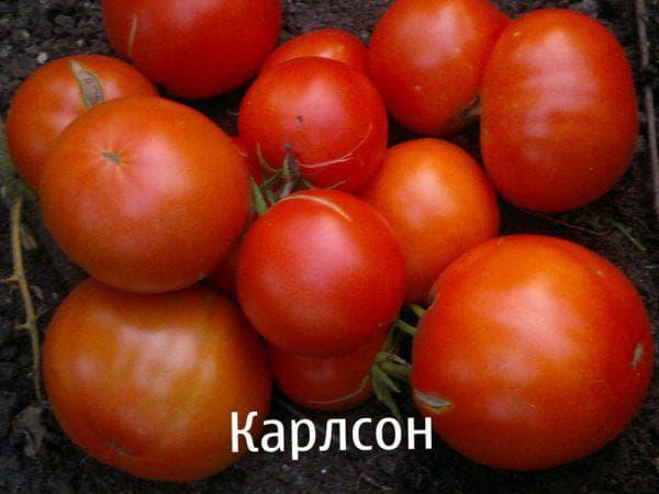 помидор Карлсон