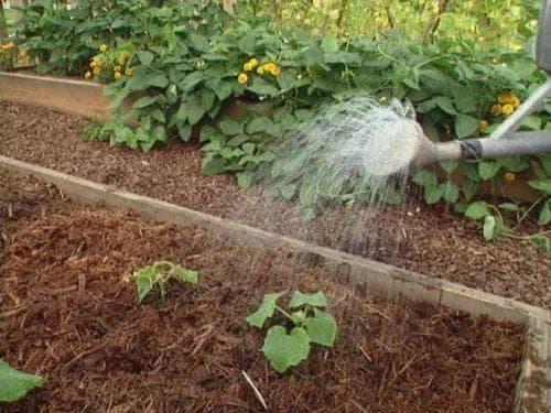 Какие удобрения вносить при посадке огурцов в открытый грунт
