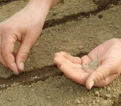 посадка щавеля в открытый грунт семенами