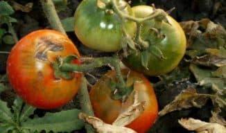 борьба с фитофторозом на помидорах