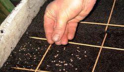 подготовка семян щавеля