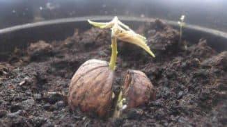 как посадить саженец грецкого ореха весной