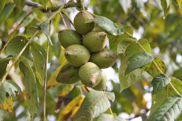 Дальневосточный орех дерево как вырастить