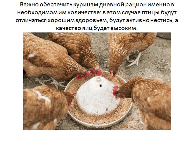 сколько зерна нужно одной курице в день