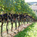 фото виноград Велес