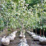 посадка колоновидной груши весной