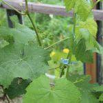 характеристика винограда Кодрянка