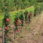 обработка яблони от муравьев и тли