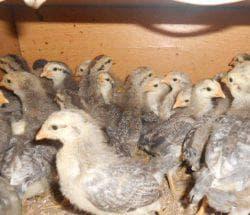 цыплята борковской барвистой породы кур