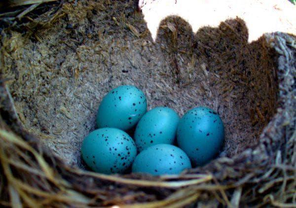 Порода куриц с цветными яйцами