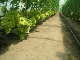 формирование винограда в теплице