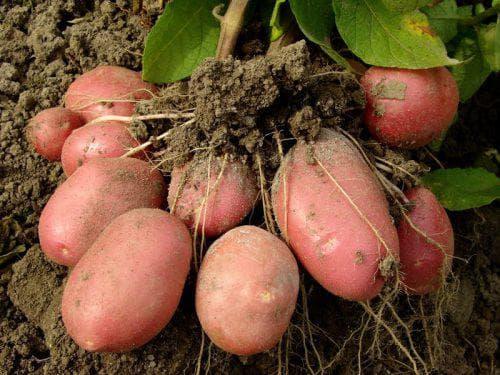 Горчица как сидерат под картофель